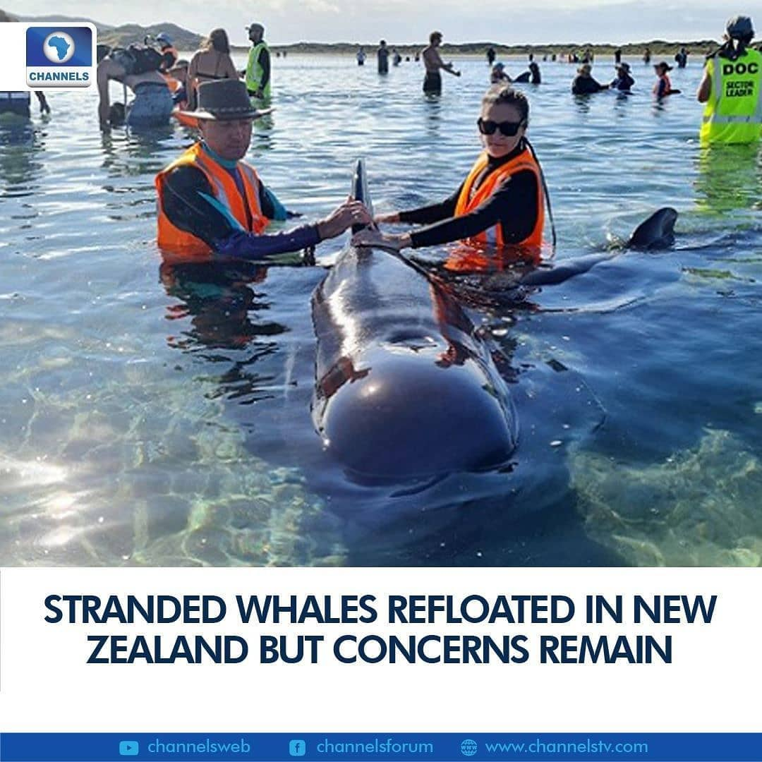 """Rescuers successfully refloated 28 pilot whales stranded on a notorious stretch of New Zealand's coast Tuesday, but the mammals remained close to shore and could beach themselves again, wildlife officials said.  The Department of Conservation (DOC) said the long-finned pilot whales were part of a pod of around 50 found Monday at Farewell Spit, about 90 kilometres (55 miles) north of the South Island tourist town of Nelson.  Around 40 were pushed out to sea on Monday evening but swam back ashore by the next morning, with around 60 volunteers helping move the 28 survivors back into the water.  """"The whales have been close to shore and it's uncertain whether they will swim off or possibly re-strand,"""" a DOC spokeswoman said.  """"DOC rangers and volunteers remain on-site ready to respond if the whales start swimming for shore and become stranded again.""""  At least 15 of the original pod have died.  Farewell Spit is a 26-kilometre hook of sand that protrudes into the sea at Golden Bay.  It has been the scene of at least 10 pilot whale strandings in the past 15 years.  The most recent was in February 2017, when almost 700 of the mammals beached, resulting in 250 deaths.  Scientists are unclear about why the beach is so deadly. One theory is that the spit creates a shallow seabed in the bay that interferes with the whales' sonar navigation systems."""